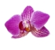 Орхидея тай